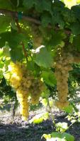 Grapes Albana